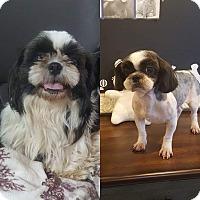 Adopt A Pet :: Kekeke Korea - Urbana, OH