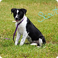 Adopt A Pet :: Scout - Lebanon, MO