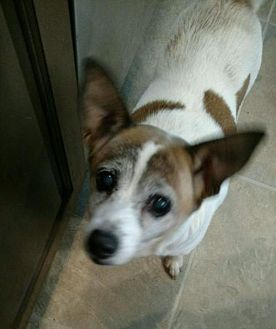 Chihuahua/Feist Mix Dog for adoption in Centreville, Virginia - Daisy