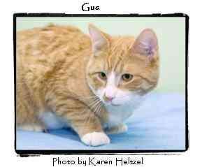 Domestic Shorthair Kitten for adoption in Warren, Pennsylvania - Gus