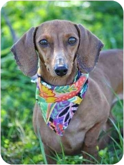Dachshund Dog for adoption in Portsmouth, Rhode Island - Shrimp