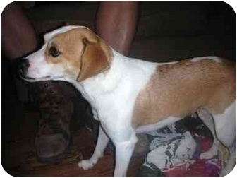 Jack Russell Terrier/Terrier (Unknown Type, Small) Mix Dog for adoption in Naperville, Illinois - Ursula-ADOPTED