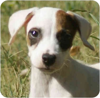 Jack Russell Terrier/Hound (Unknown Type) Mix Puppy for adoption in Portland, Maine - Frost