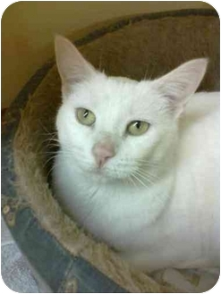 Domestic Shorthair Cat for adoption in Youngwood, Pennsylvania - Pinky