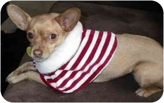 Chihuahua Mix Dog for adoption in San Diego, California - Sophie