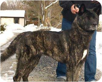 Akita Dog for adoption in East Amherst, New York - Nala