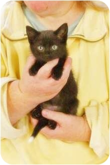 Domestic Shorthair Kitten for adoption in Tillamook, Oregon - Silver Moon