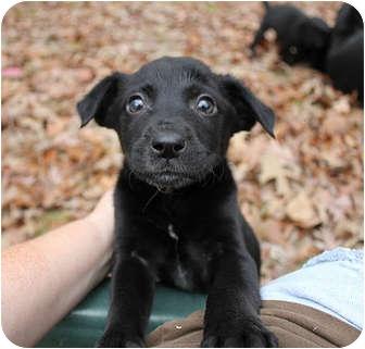 Labrador Retriever Mix Puppy for adoption in Preston, Connecticut - Gemma