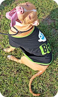 American Pit Bull Terrier/Boxer Mix Dog for adoption in Orlando, Florida - Bonnie