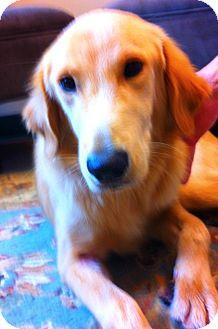 Golden Retriever Puppy for adoption in BIRMINGHAM, Alabama - Annie