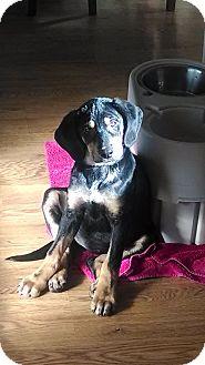 Rottweiler/Hound (Unknown Type) Mix Puppy for adoption in Hainesville, Illinois - Lady Bird