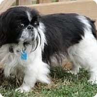Adopt A Pet :: Macaroon - Richmond, VA