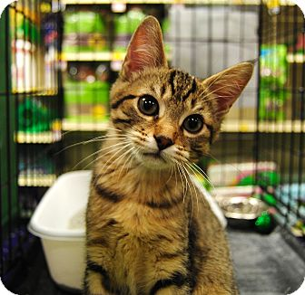 Domestic Shorthair Kitten for adoption in Plano, Texas - LANGSTON - CUDDLING IS MY GAME