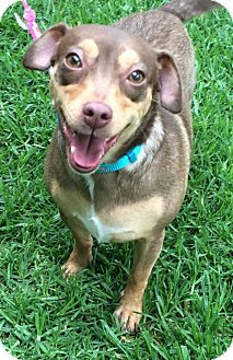 Miniature Pinscher Mix Dog for adoption in Poway, California - CHLOE