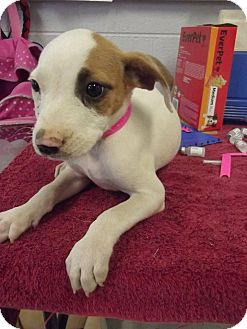 Terrier (Unknown Type, Medium)/Staffordshire Bull Terrier Mix Puppy for adoption in Broadway, New Jersey - Mya