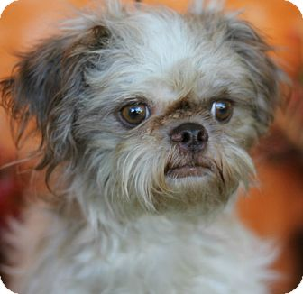 Shih Tzu Dog for adoption in Boulder, Colorado - Ruby-ADOPTION PENDING