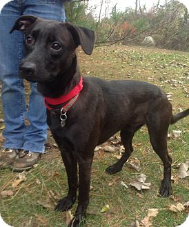 Whippet Mix Dog for adoption in New Milford, Connecticut - Jacob