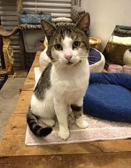 Domestic Shorthair Cat for adoption in St. James City, Florida - Grayson