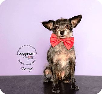 Cairn Terrier/Chihuahua Mix Dog for adoption in Houston, Texas - Benny