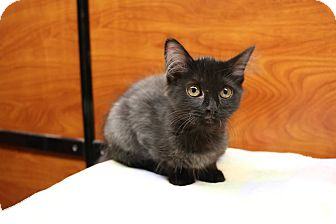 Domestic Longhair Kitten for adoption in Greensboro, Georgia - Bashful