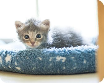 Domestic Mediumhair Kitten for adoption in Houston, Texas - Mo