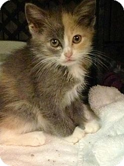 Calico Kitten for adoption in East Brunswick, New Jersey - Lola