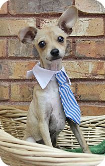 Chihuahua Mix Puppy for adoption in Benbrook, Texas - Timothy