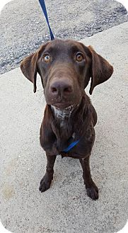 Labrador Retriever Dog for adoption in Deer Park, New York - SAM