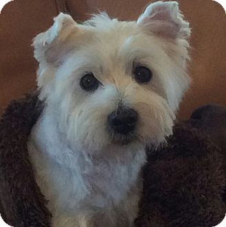 Westie, West Highland White Terrier Dog for adoption in Frisco, Texas - BRODY HAS BEEN ADOPTED