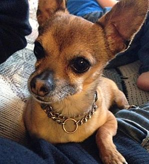 Chihuahua Dog for adoption in milk river, Alberta - Riley