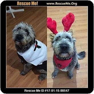 Skye Terrier Dog for adoption in Arlington, Massachusetts - Chicka