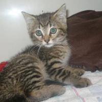 Adopt A Pet :: Bobbin - Fairfax Station, VA