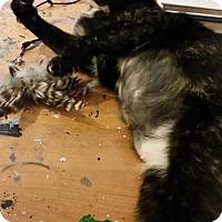 Adopt A Pet :: Paisley (Kagome) - Denver, CO