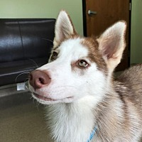Adopt A Pet :: Drea - Holly Springs, NC