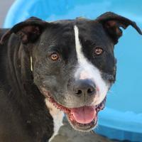 Adopt A Pet :: CHICHI - Las Vegas, NV