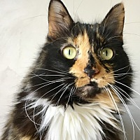 Adopt A Pet :: Callique (Ms. Cleaky) - Green Bay, WI