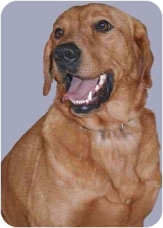 Retriever (Unknown Type) Mix Dog for adoption in Grass Valley, California - Johnny Boy