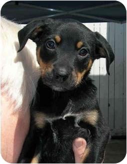 Labrador Retriever/Doberman Pinscher Mix Puppy for adoption in El Segundo, California - Delilah