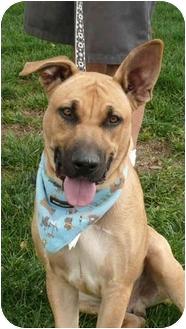 German Shepherd Dog/Rhodesian Ridgeback Mix Dog for adoption in Sacramento, California - Marmaduke cool boy