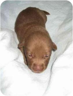 Labrador Retriever Mix Puppy for adoption in San Diego, California - PUPPY MORGAN