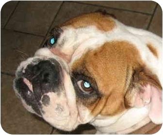 English Bulldog Dog for adoption in San Diego, California - Petunia-Adoption Pending