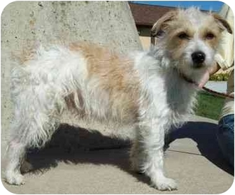 Jack Russell Terrier/Wirehaired Fox Terrier Mix Dog for adoption in North Judson, Indiana - Rickey