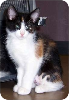 Domestic Mediumhair Kitten for adoption in Oklahoma City, Oklahoma - Sonja