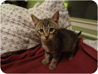 Domestic Shorthair Kitten for adoption in Hurst, Texas - Magnificent Seven
