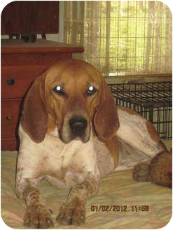 English (Redtick) Coonhound Mix Dog for adoption in Bakersville, North Carolina - Bonnie