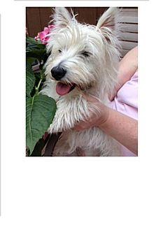 Westie, West Highland White Terrier Dog for adoption in GARRETT, Indiana - Shelby