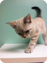 Domestic Shorthair Kitten for adoption in Columbus, Georgia - Zero 3233