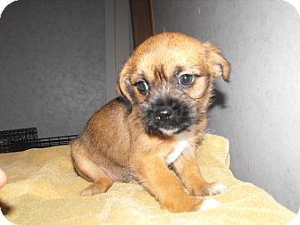 Shih Tzu/Terrier (Unknown Type, Small) Mix Puppy for adoption in Syacuse, New York - Bruster