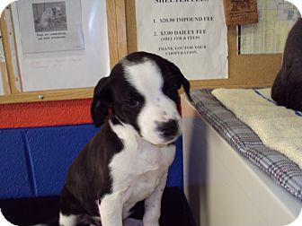 Beagle Mix Puppy for adoption in BLACKWELL, Oklahoma - JAKE