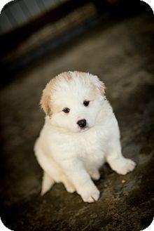 Great Pyrenees/Husky Mix Puppy for adoption in Muldrow, Oklahoma - Amanda